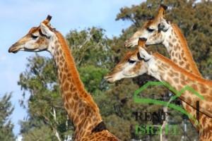 """Жирафы в зоопарке """"Сафари"""""""